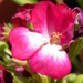 May 5 Glorious Geranium by daisymiller