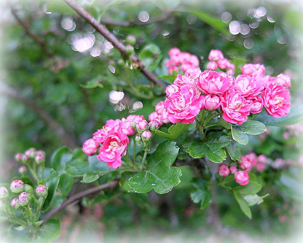 pink may by quietpurplehaze