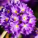 Purple flower by elisasaeter