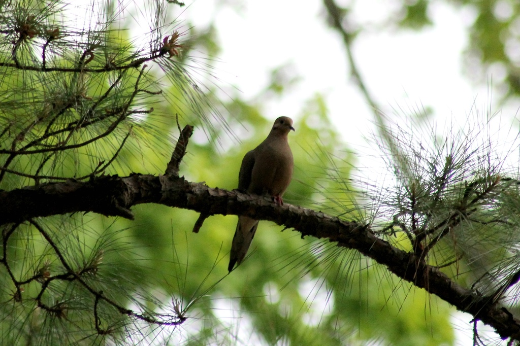 Mourning Dove by moonshadow