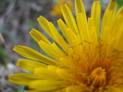 6th May 2014 - Dandelion