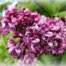 purple profusion by quietpurplehaze