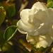 Golden Gardenia by Weezilou