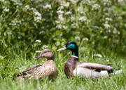 9th May 2014 - Ducks out of water - 9-05