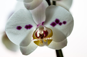 9th May 2014 - Orchids