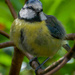 Fledgling Blue Tit by michael1947