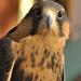 Peruvian Aplomado Falcon by joysfocus