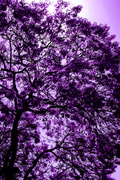 11th May 2014 - (Day 87) - Glorious Purple