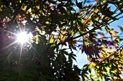 12th May 2014 - Japanese Maple