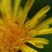 Yellow Beauty by mzzhope