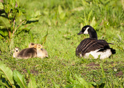 13th May 2014 - Mother goose - 13-05