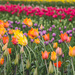Tulips, Tulips, Tulips! by lisabell