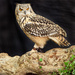 Eagle Owl by netkonnexion