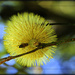 Banksia flower by dide