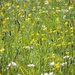 buttercup meadow by roachling