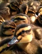 14th May 2014 - Ducklings