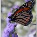 Monarch Butterfly by rustymonkey