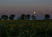15th May 2014 - Buttercup moon 15-05