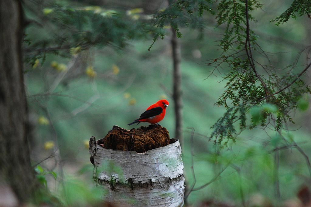 Little scarlet tanager! by fayefaye