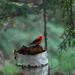 Little scarlet tanager! by fayefaye