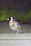 17th May 2014 - 2014 05 17 - Goldfinch