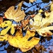 floating leaves by cruiser