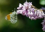 18th May 2014 - Orange tip - 18-05