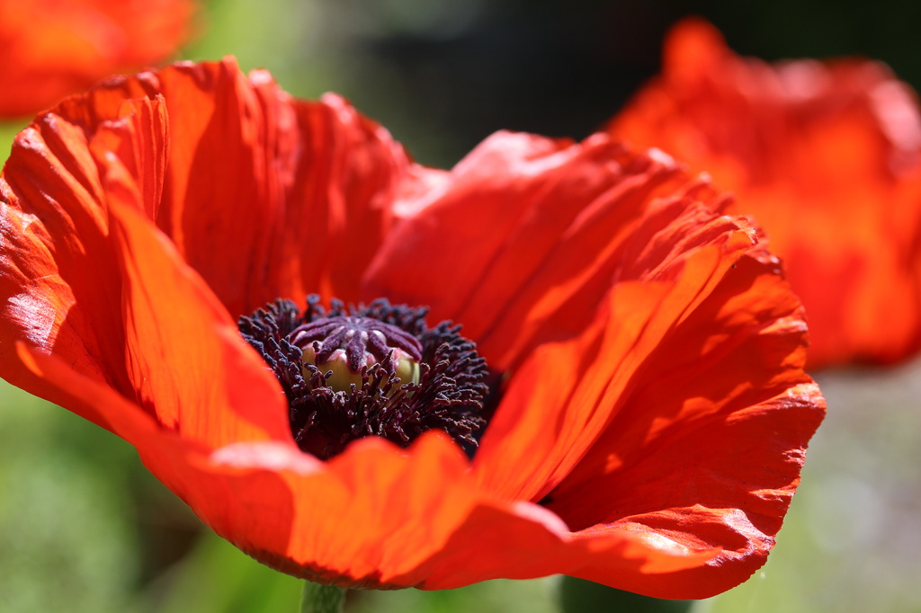 One of the Poppies by pyrrhula