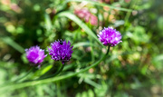 18th May 2014 - Chive Flowers... and friend.