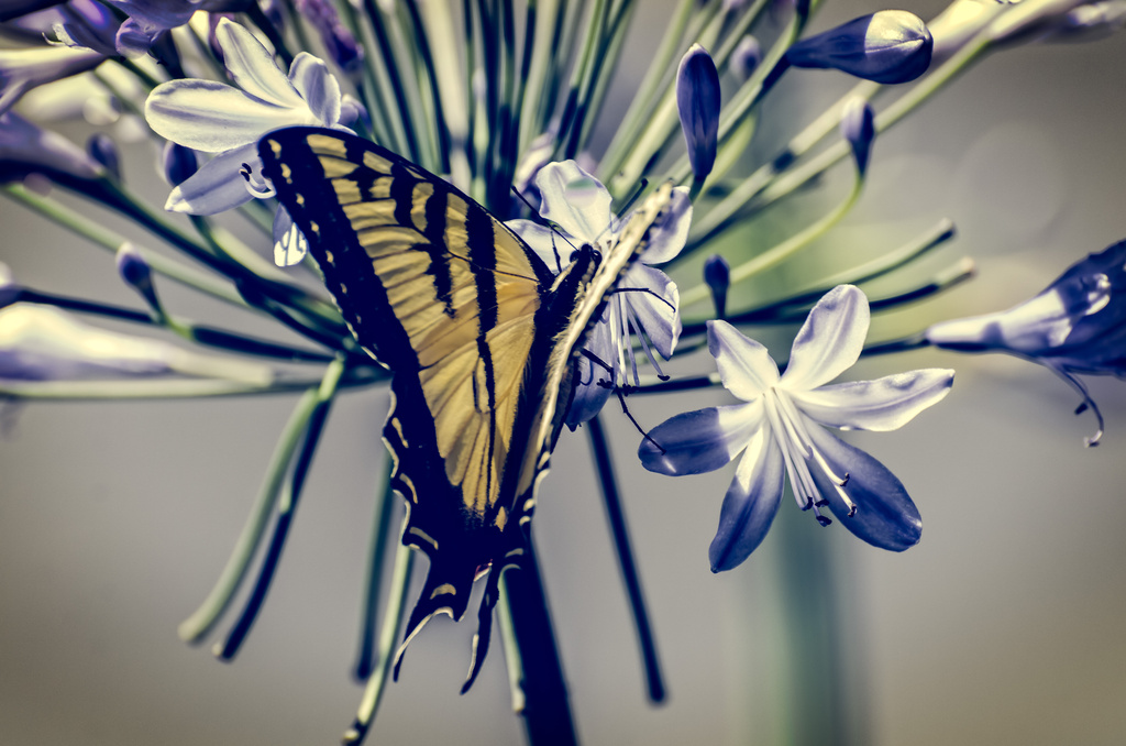 Swallowtail  by mikegifford