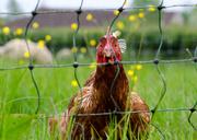19th May 2014 - Chicken run - 19-05