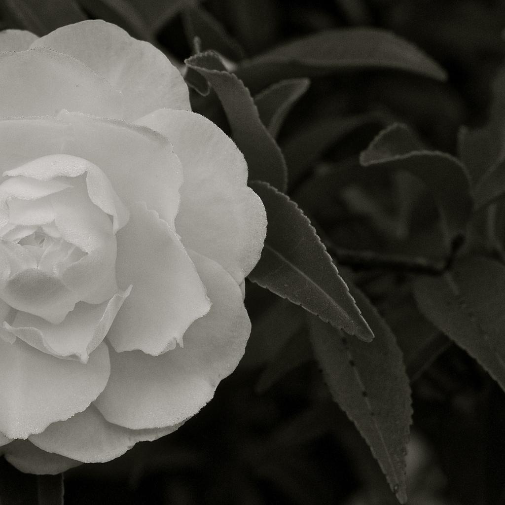 Camellia  by brigette