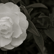 20th May 2014 - Camellia