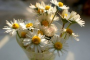 17th May 2014 - A fistful of daisies