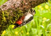 20th May 2014 - Woodpecker 20-05
