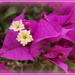Bougainvillea by busylady