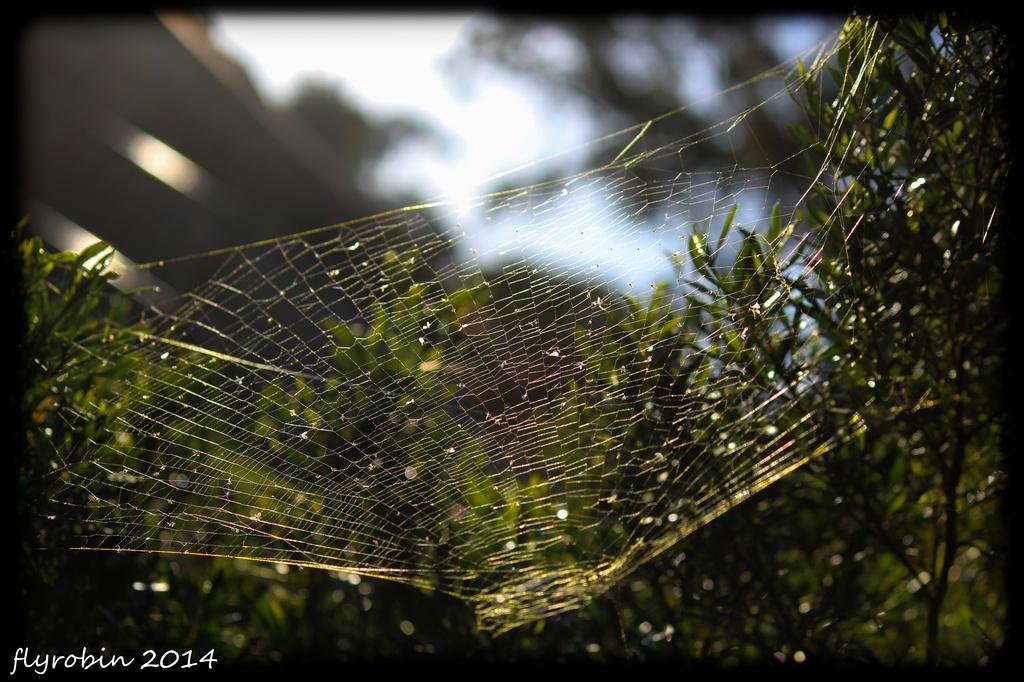 Golden orb spider web by flyrobin