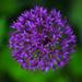Allium in colour by seanoneill