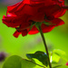 First Rose... by shepherdmanswife