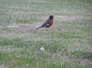 20th May 2014 - Little Robin