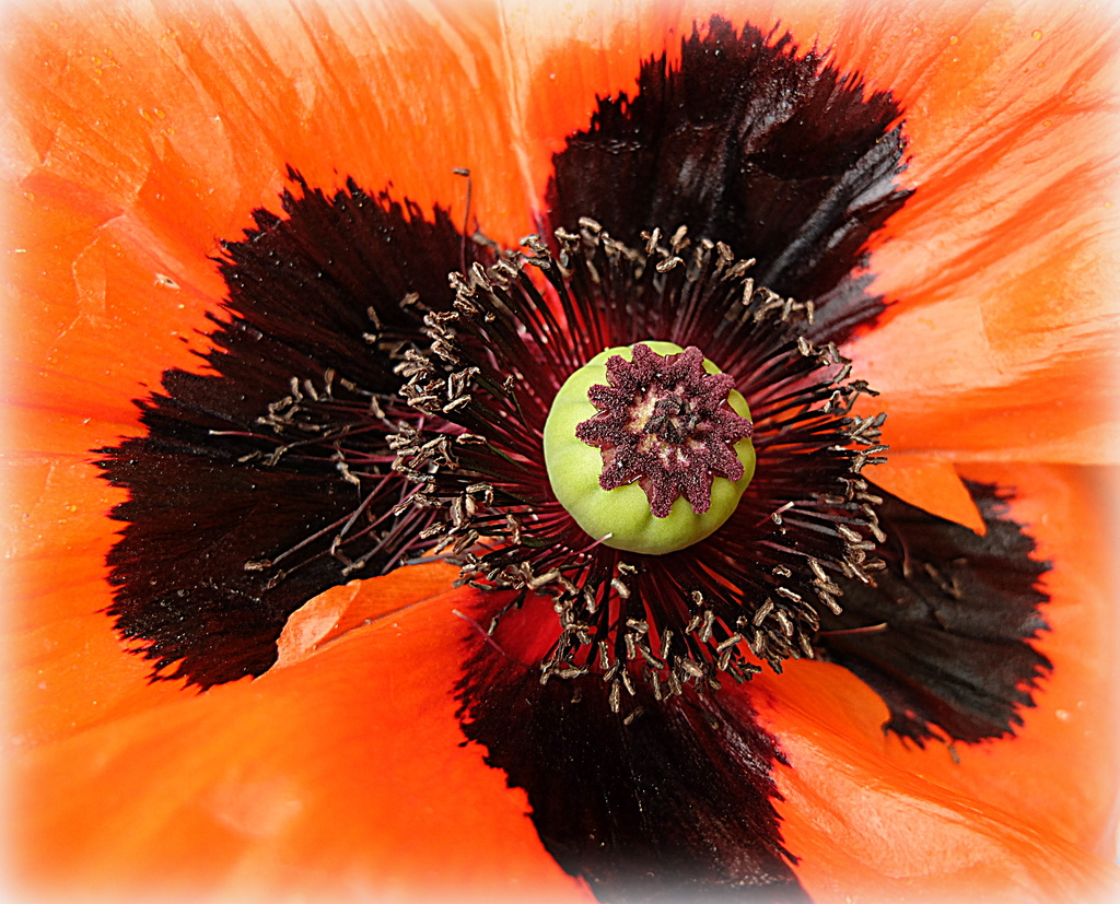 up close with a poppy.. by quietpurplehaze
