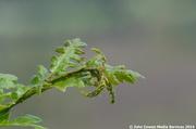 24th Jun 2014 - A tender young oak