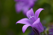 22nd May 2014 - Just another purple flower