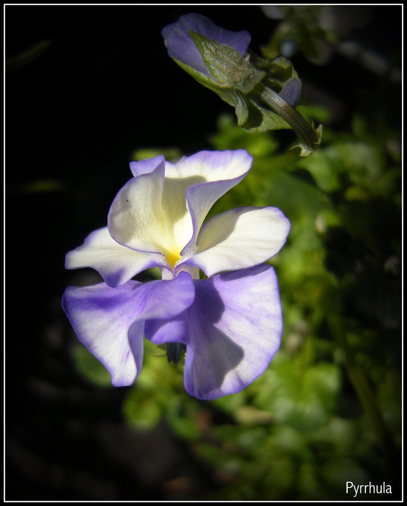 A Violet or Pansies.  (Violaceae) by pyrrhula