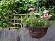 21st May 2014 - Geranium basket