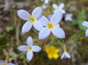 22nd May 2014 - Tiny Wild Flowers