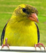 23rd May 2014 - Goldfinch