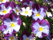 23rd May 2014 - Purple Flowers