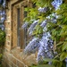 mullions and wisteria by jantan