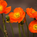 red poppy #26 by ricaa